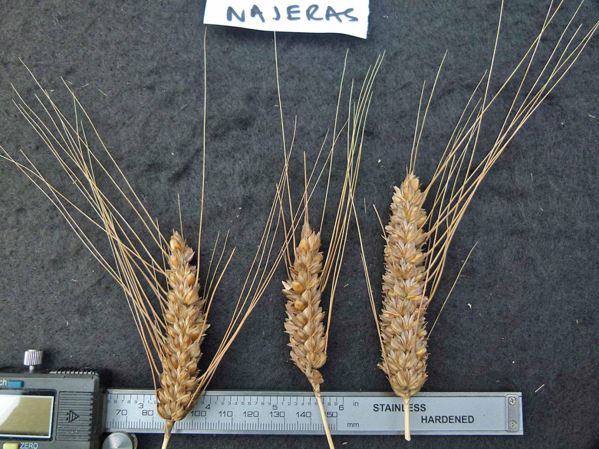 wheat identification images for <a href='http://www.wheat-gateway.org.uk/search.php?send=1&ID=44579&genes=1&bunt_a=1' target='_blank'>Gigante Lampino de Najera</a> - 12:43pm&nbsp;31<sup>st</sup>&nbsp;Aug.&nbsp;'10