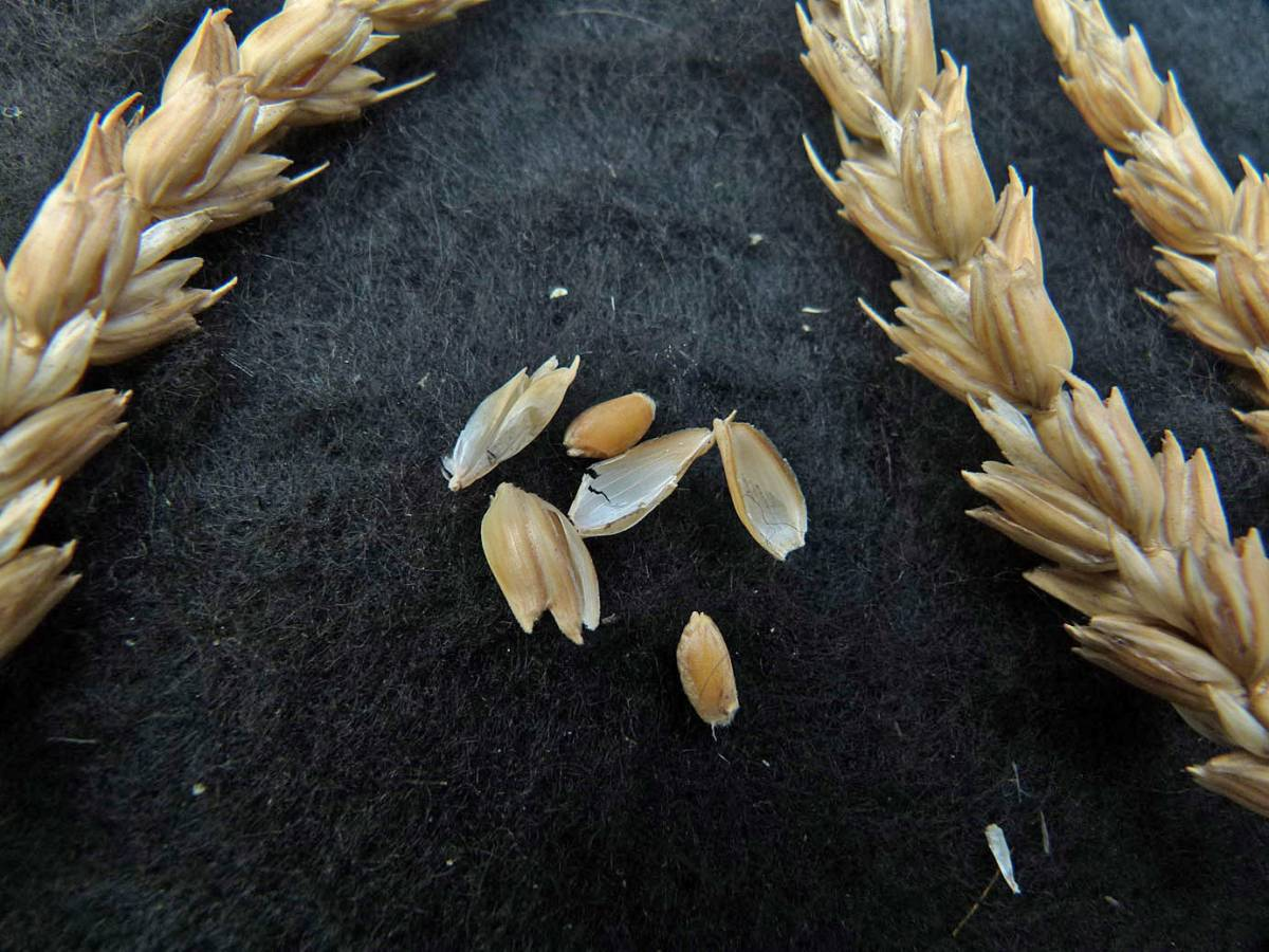 wheat identification images for <a href='http://www.wheat-gateway.org.uk/search.php?send=1&ID=109461' target='_blank'>Old Burwell</a> - 1:31pm&nbsp;31<sup>st</sup>&nbsp;Aug.&nbsp;'10