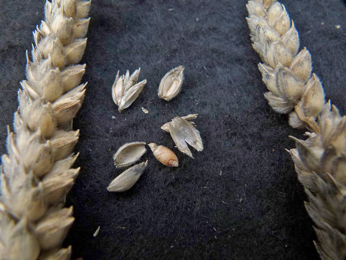 wheat identification images for <a href='http://www.wheat-gateway.org.uk/search.php?send=1&ID=121231' target='_blank'>Ble Blanc A Duvet ou Velute TRI25830</a> - 11:43am&nbsp;31<sup>st</sup>&nbsp;Aug.&nbsp;'10