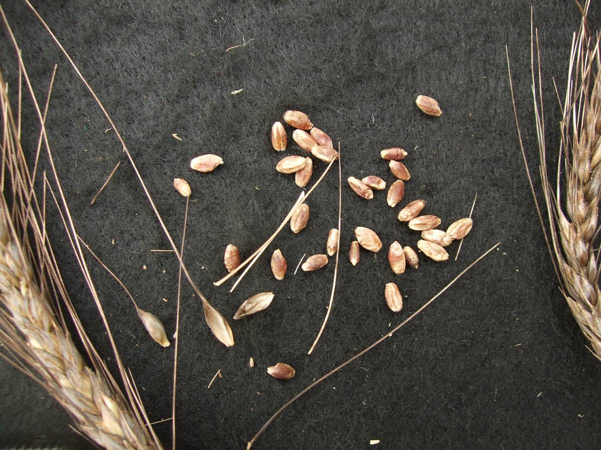 wheat identification images for Ethiopian Purple - 10:49am&nbsp;31<sup>st</sup>&nbsp;Aug.&nbsp;'11