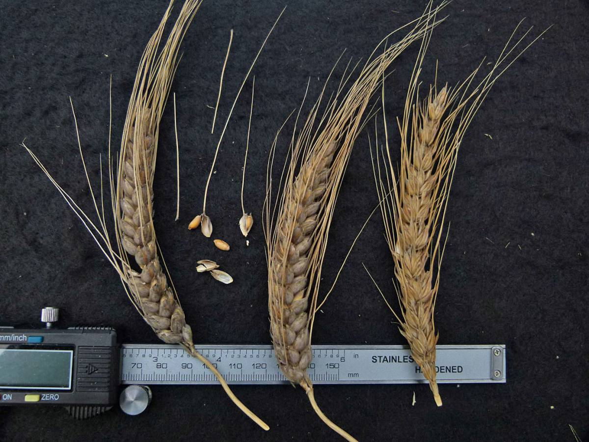 wheat identification images for <a href='http://www.wheat-gateway.org.uk/search.php?send=1&ID=64144&genes=1&bunt_a=1' target='_blank'>Paine's Defiance</a> - 10:56am&nbsp;31<sup>st</sup>&nbsp;Aug.&nbsp;'10