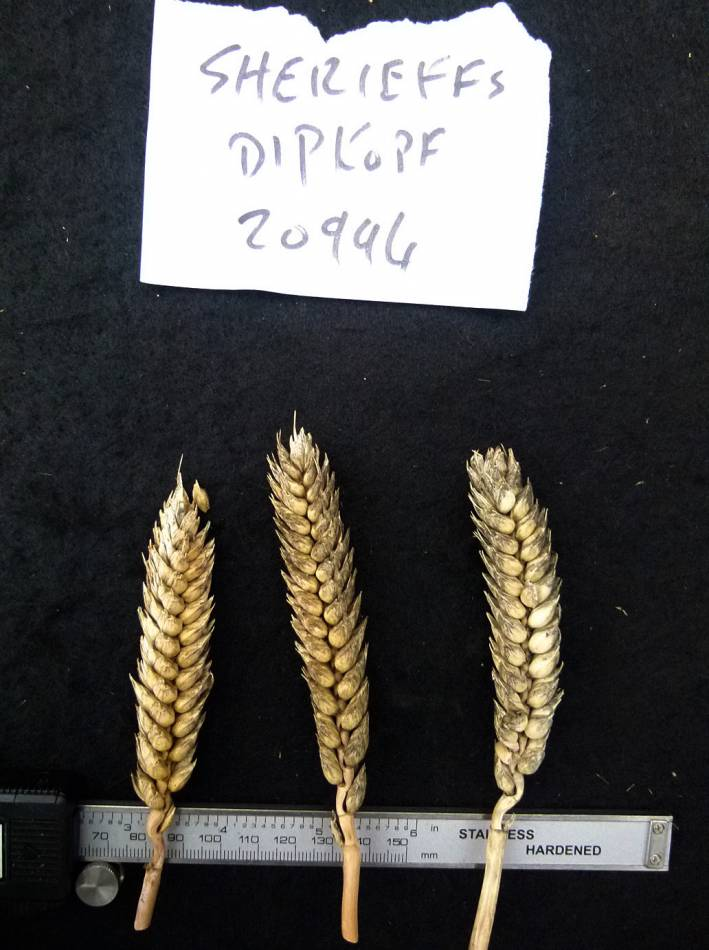 wheat identification images for <a href='http://www.wheat-gateway.org.uk/search.php?send=1&ID=118268&genes=1&bunt_a=1' target='_blank'>Sheriffs Squarehead (Shiriffs Dickkopf)</a> - 11:04am&nbsp;31<sup>st</sup>&nbsp;Aug.&nbsp;'10