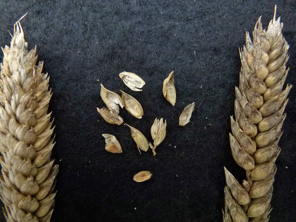 wheat identification images for <a href='http://www.wheat-gateway.org.uk/search.php?send=1&ID=118268&genes=1&bunt_a=1' target='_blank'>Sheriffs Squarehead (Shiriffs Dickkopf)</a> - 11:06am&nbsp;31<sup>st</sup>&nbsp;Aug.&nbsp;'10