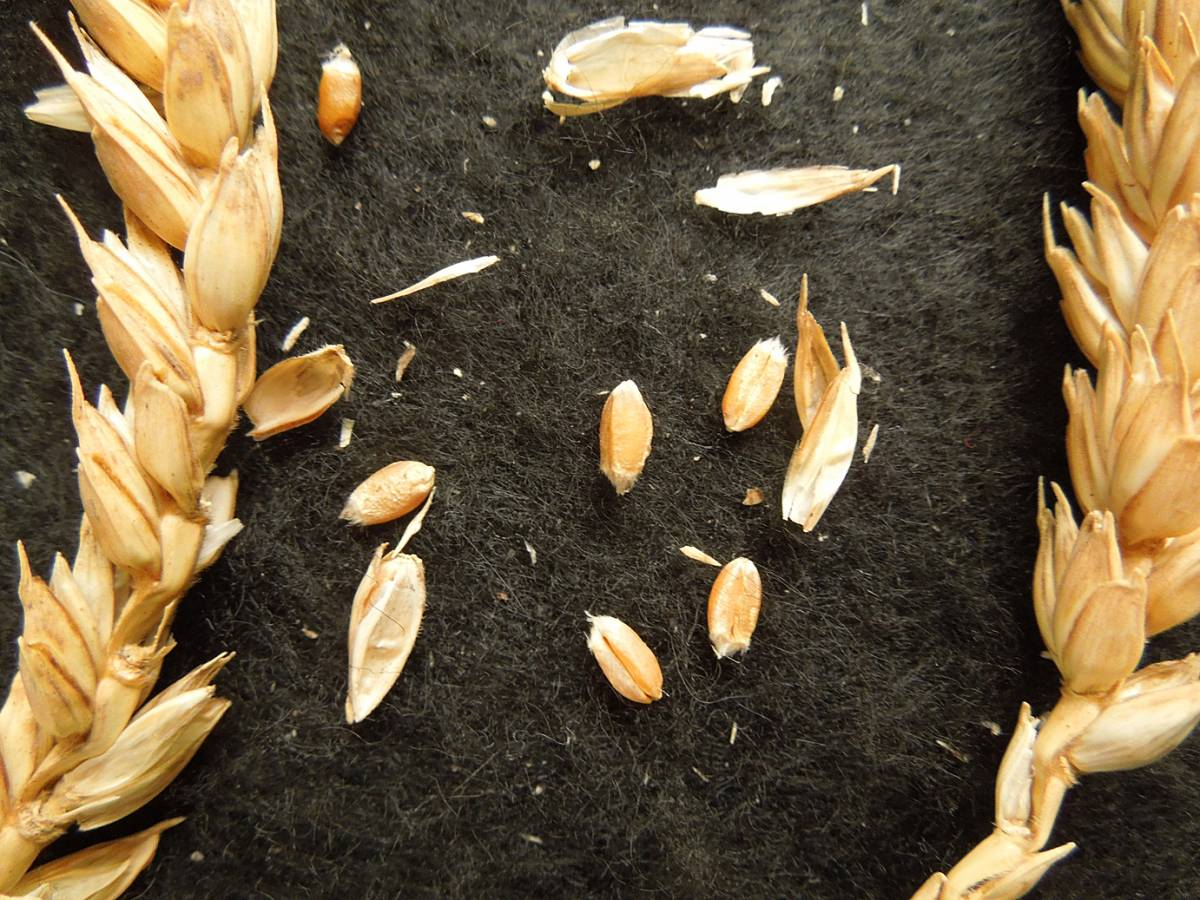 wheat identification images for <a href='http://www.wheat-gateway.org.uk/search.php?send=1&ID=831&genes=1&bunt_a=1' target='_blank'>Scotia Rubrum</a> - 6:15pm&nbsp;4<sup>th</sup>&nbsp;Sep.&nbsp;'12