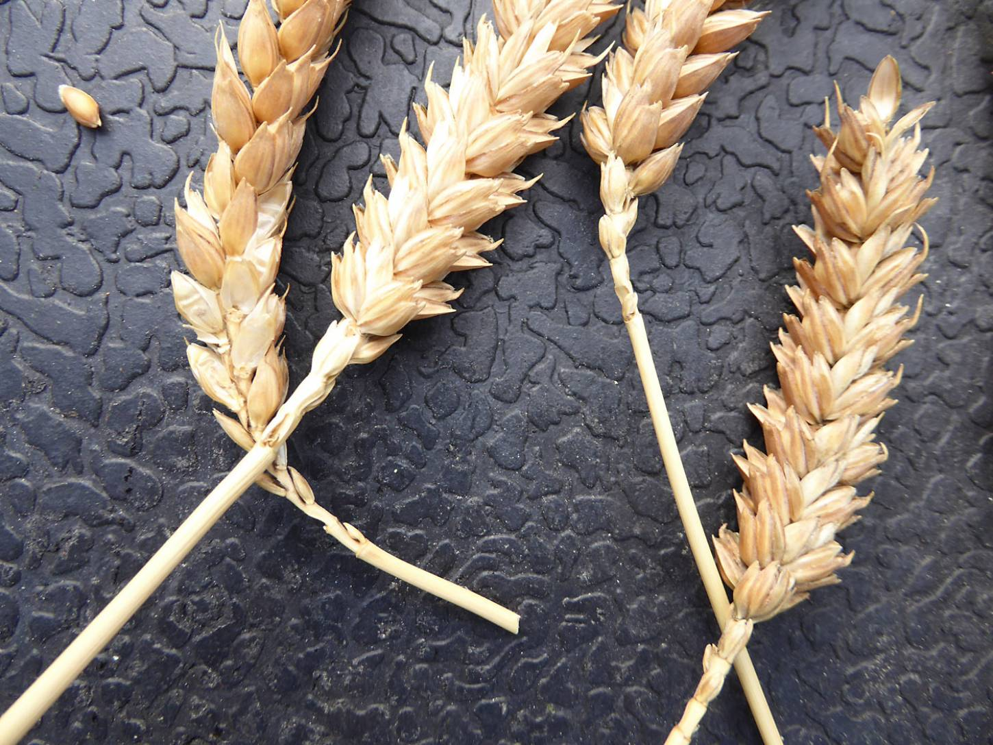 wheat identification images for <a href='http://brockwell-bake.org.uk/wheat/search.php?send=1&ID=109296&genes=1&bunt_a=1' target='_blank'>Red Dan(t)zig</a> - 6:02pm&nbsp;3<sup>rd</sup>&nbsp;Aug.&nbsp;'17