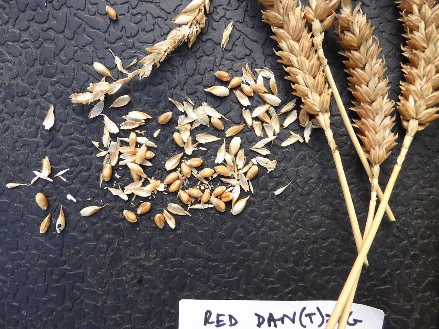 wheat identification images for <a href='http://brockwell-bake.org.uk/wheat/search.php?send=1&ID=109296&genes=1&bunt_a=1' target='_blank'>Red Dan(t)zig</a> - 6:03pm&nbsp;3<sup>rd</sup>&nbsp;Aug.&nbsp;'17