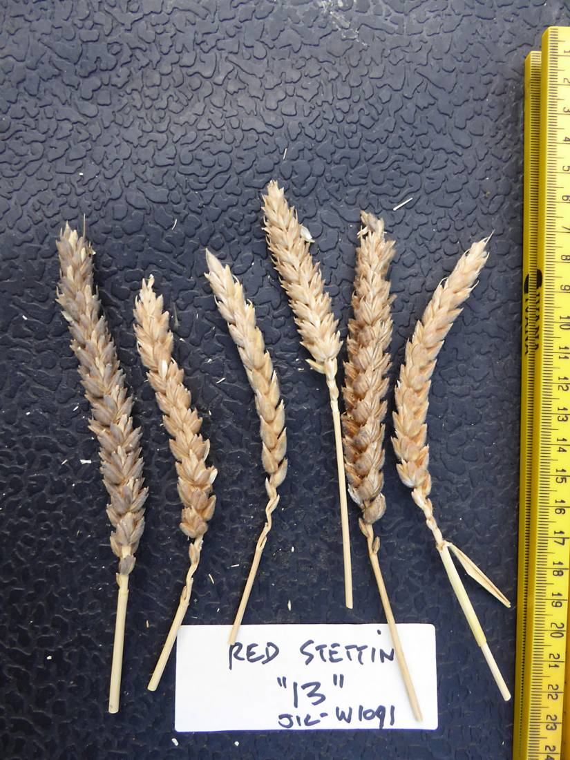 wheat identification images for <a href='http://brockwell-bake.org.uk/wheat/search.php?send=1&ID=109386&genes=1&bunt_a=1' target='_blank'>Red Stettin 13</a> and more <a href='http://www.wheat-gateway.org.uk/hub.php?ID=57' target='_blank'>info</a> - 7:24pm&nbsp;3<sup>rd</sup>&nbsp;Aug.&nbsp;'17