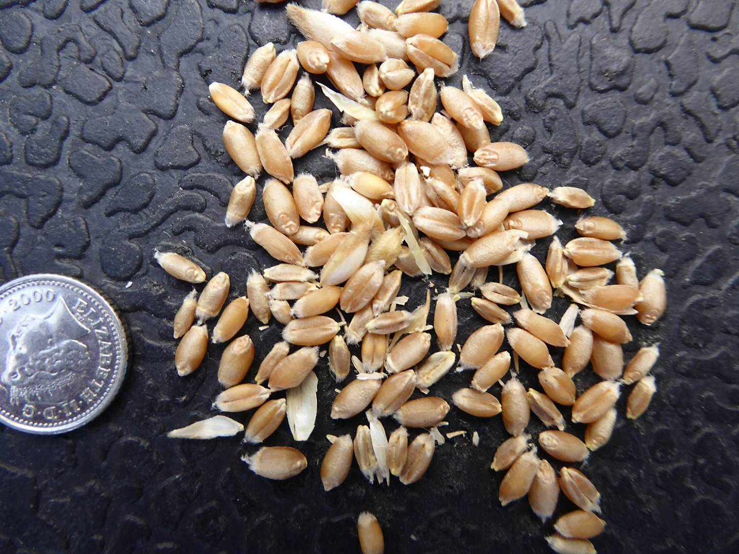 wheat identification images for <a href='http://brockwell-bake.org.uk/wheat/search.php?send=1&ID=109386&genes=1&bunt_a=1' target='_blank'>Red Stettin 13</a> and more <a href='http://www.wheat-gateway.org.uk/hub.php?ID=57' target='_blank'>info</a> - 6:47pm&nbsp;3<sup>rd</sup>&nbsp;Aug.&nbsp;'17