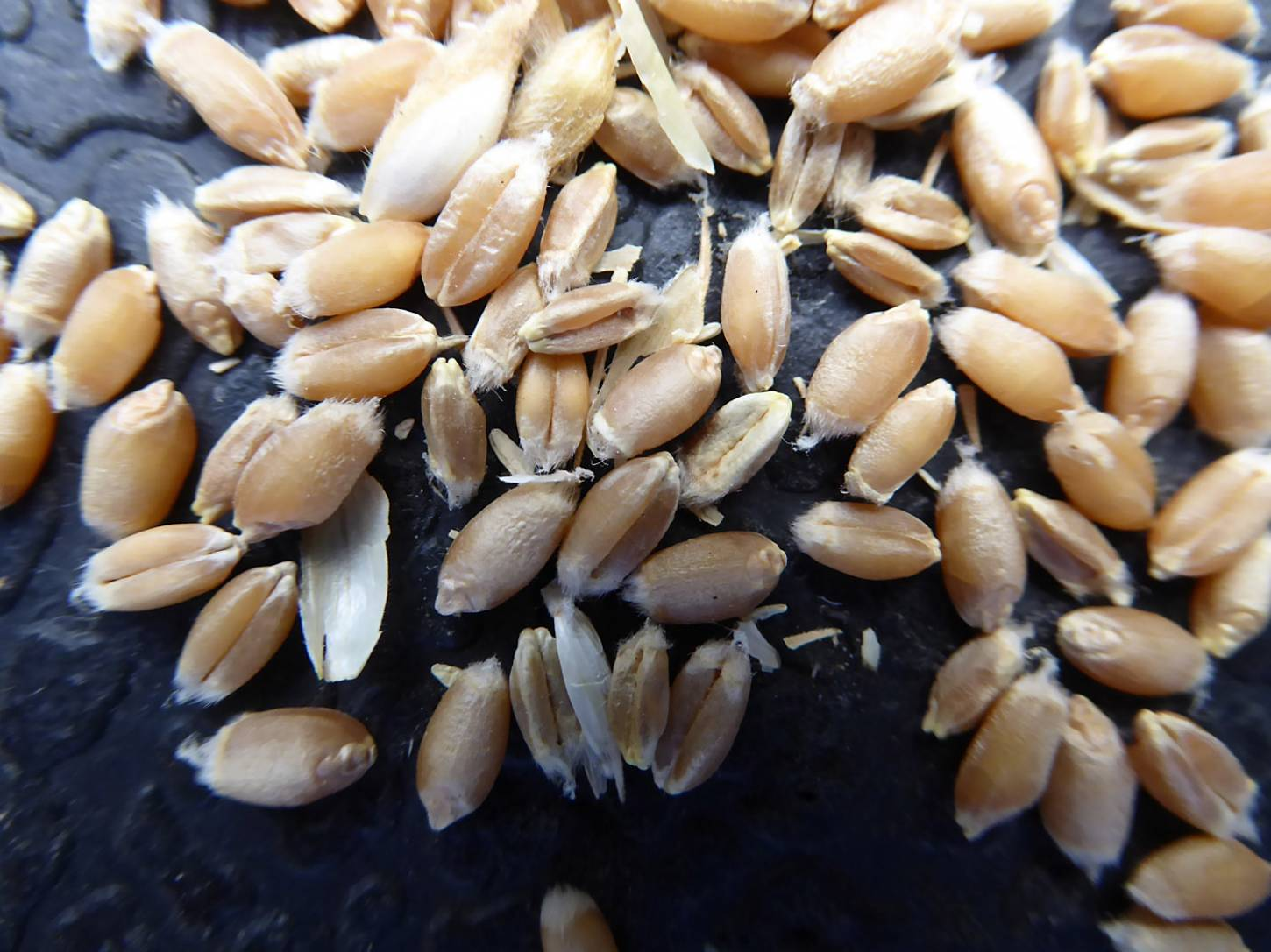 wheat identification images for <a href='http://brockwell-bake.org.uk/wheat/search.php?send=1&ID=109386&genes=1&bunt_a=1' target='_blank'>Red Stettin 13</a> and more <a href='http://www.wheat-gateway.org.uk/hub.php?ID=57' target='_blank'>info</a> - 6:48pm&nbsp;3<sup>rd</sup>&nbsp;Aug.&nbsp;'17