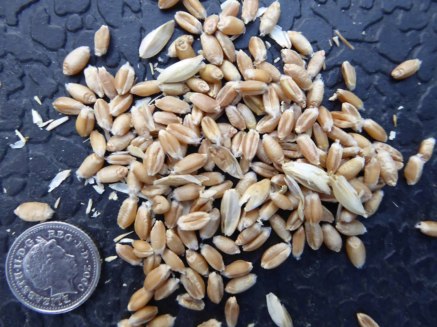 wheat identification images for <a href='http://brockwell-bake.org.uk/wheat/search.php?send=1&ID=109346&genes=1&bunt_a=1' target='_blank'>Red Stettin B</a> and more <a href='http://www.wheat-gateway.org.uk/hub.php?ID=57' target='_blank'>info</a> - 7:00pm&nbsp;3<sup>rd</sup>&nbsp;Aug.&nbsp;'17
