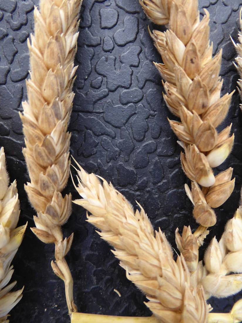 wheat identification images for <a href='http://brockwell-bake.org.uk/wheat/search.php?send=1&ID=109346&genes=1&bunt_a=1' target='_blank'>Red Stettin B</a> and more <a href='http://www.wheat-gateway.org.uk/hub.php?ID=57' target='_blank'>info</a> - 6:56pm&nbsp;3<sup>rd</sup>&nbsp;Aug.&nbsp;'17