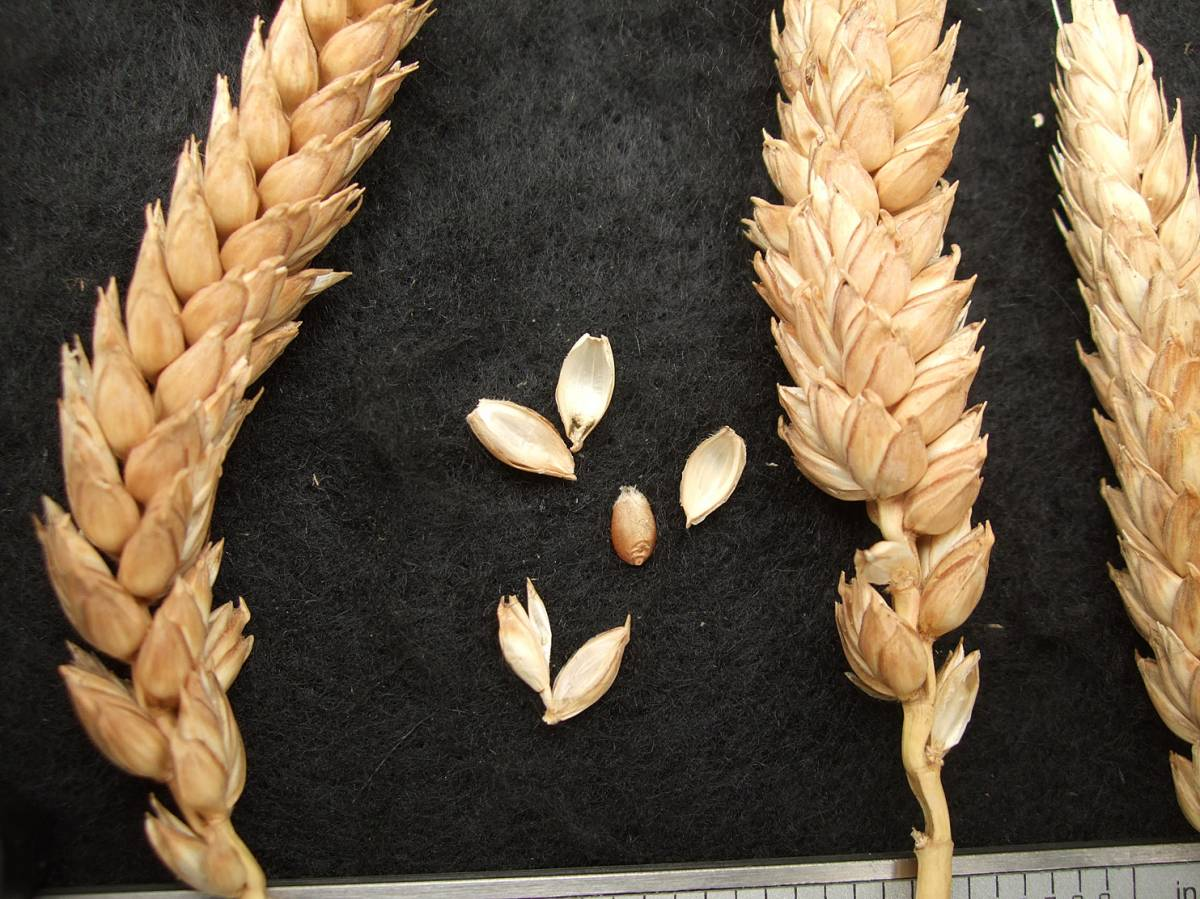 wheat identification images for <a href='http://www.wheat-gateway.org.uk/search.php?send=1&ID=108832&genes=1&bunt_a=1' target='_blank'>Golden Drop</a>  - 11:12am&nbsp;31<sup>st</sup>&nbsp;Aug.&nbsp;'11