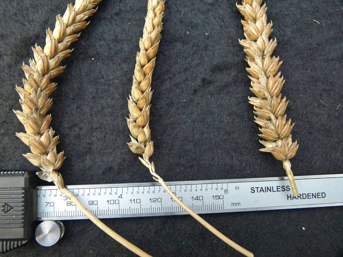 wheat identification images for Golden Drop  - 11:15am&nbsp;31<sup>st</sup>&nbsp;Aug.&nbsp;'10