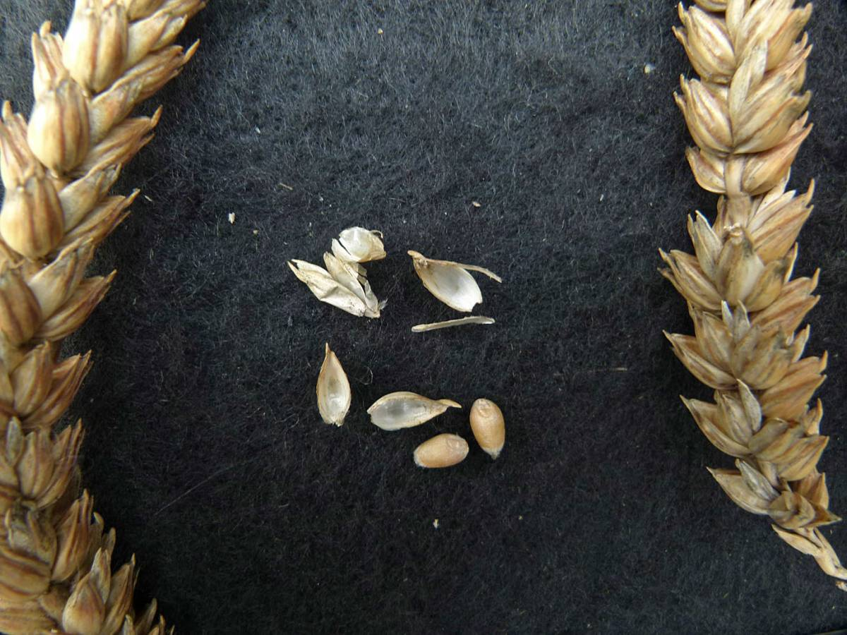 wheat identification images for Golden Drop  - 11:16am&nbsp;31<sup>st</sup>&nbsp;Aug.&nbsp;'10