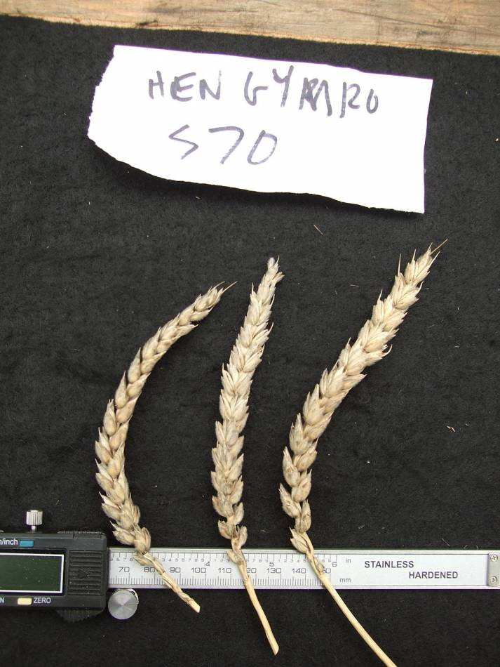 wheat identification images for <a href='http://www.wheat-gateway.org.uk/search.php?send=1&ID=88570&genes=1&bunt_a=1' target='_blank'>Hen Gymro S70</a> - 11:31am&nbsp;31<sup>st</sup>&nbsp;Aug.&nbsp;'11