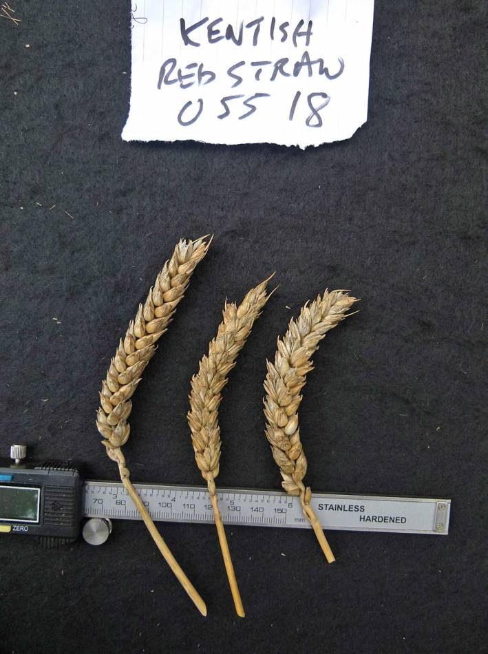 wheat identification images for <a href='http://www.wheat-gateway.org.uk/search.php?send=1&ID=88605&genes=1&bunt_a=1' target='_blank'>Kentish Red Straw</a> - 11:22am&nbsp;31<sup>st</sup>&nbsp;Aug.&nbsp;'10