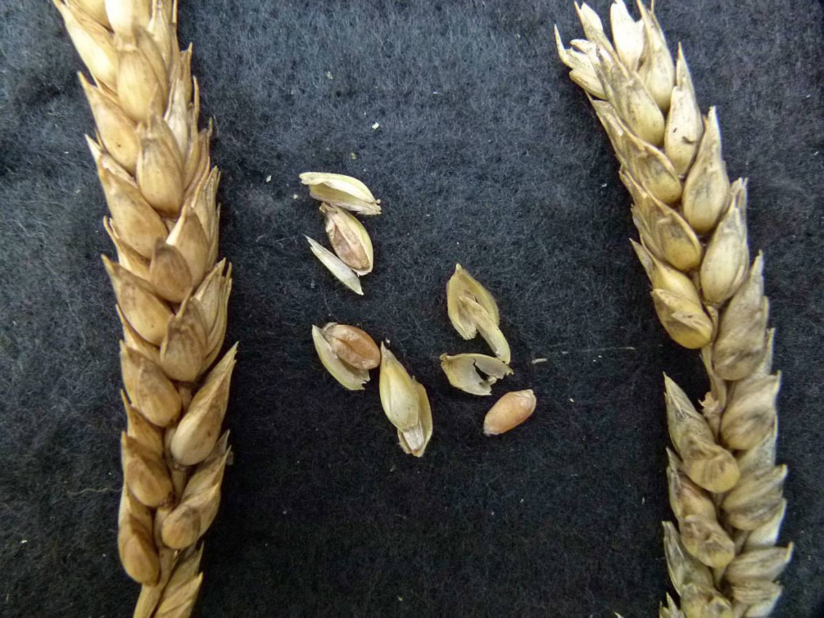 wheat identification images for <a href='http://www.wheat-gateway.org.uk/search.php?send=1&ID=90229&genes=1&bunt_a=1' target='_blank'>Kentisch Red Straw</a> - 11:02am&nbsp;31<sup>st</sup>&nbsp;Aug.&nbsp;'10