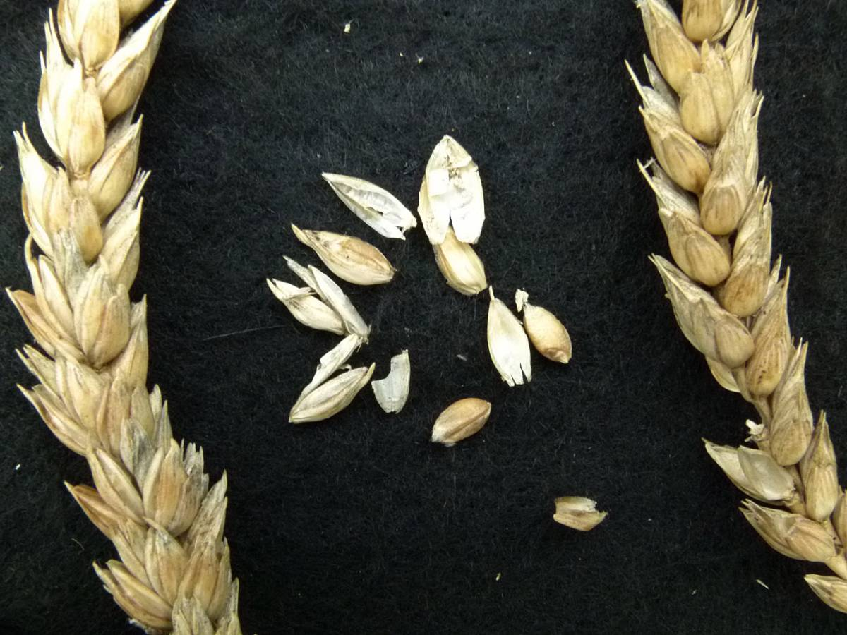 wheat identification images for <a href='http://www.wheat-gateway.org.uk/search.php?send=1&ID=88637&genes=1&bunt_a=1' target='_blank'>Lammas CGN 05550</a> - 10:54am&nbsp;31<sup>st</sup>&nbsp;Aug.&nbsp;'10