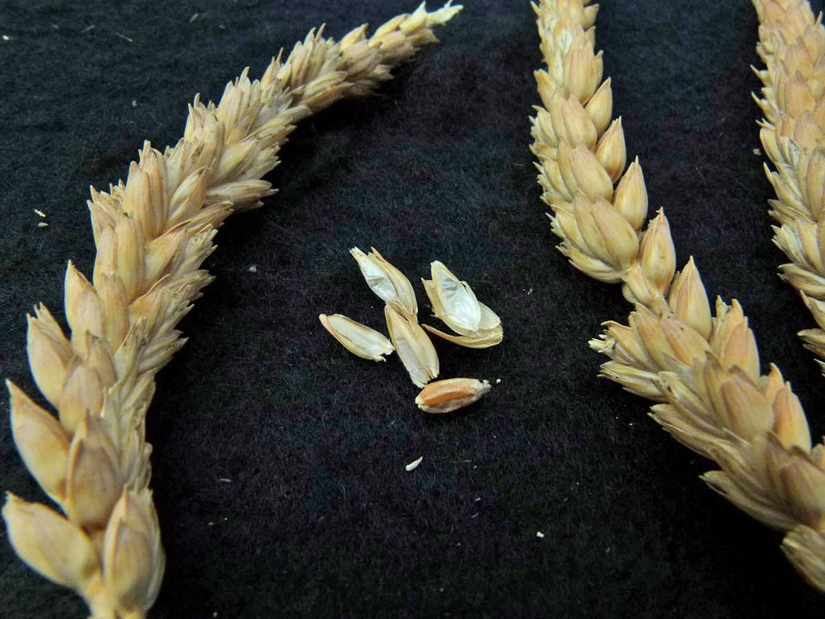 wheat identification images for Lammas - 11:49am&nbsp;31<sup>st</sup>&nbsp;Aug.&nbsp;'10