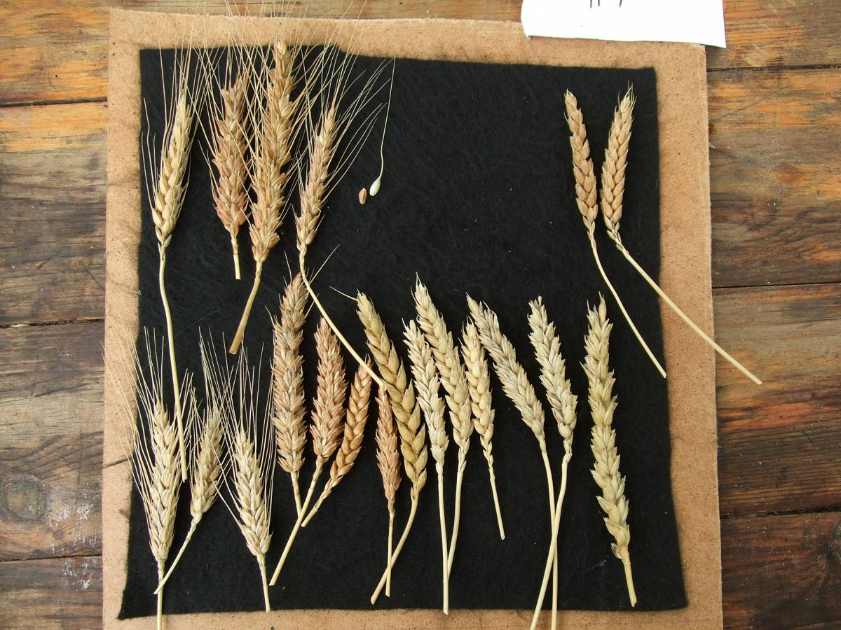 Madeiran wheat landrace type review, this is not a proportional view of the types in the landrace but samples of the most easily discernible types. The ear bottom right may be an interloper to the original mix. - 1:19pm&nbsp;9<sup>th</sup>&nbsp;Oct.&nbsp;'11