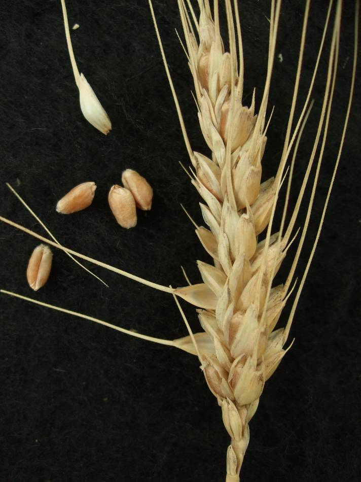 Madeiran wheat landrace type review - 1:23pm&nbsp;9<sup>th</sup>&nbsp;Oct.&nbsp;'11