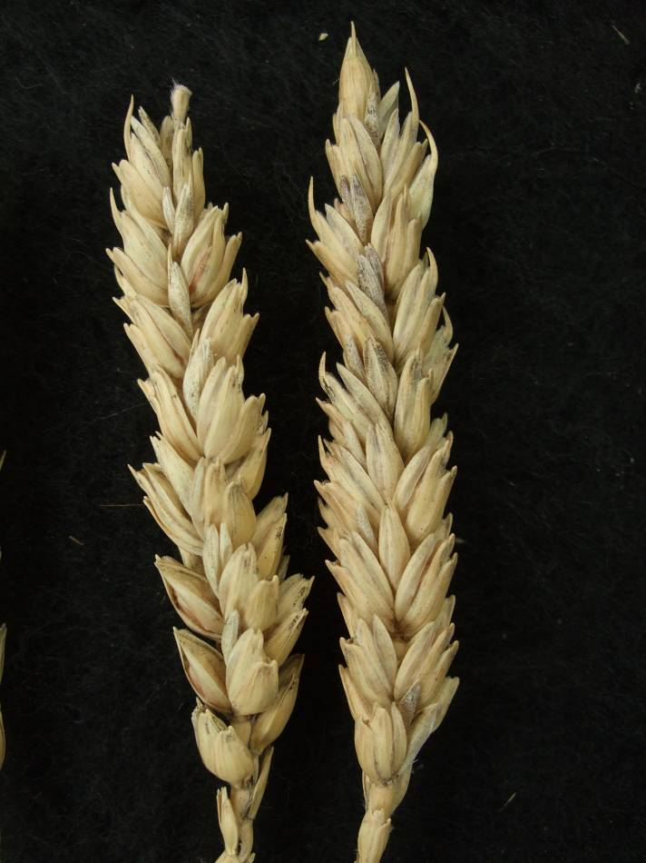 Madeiran wheat landrace type review - 1:24pm&nbsp;9<sup>th</sup>&nbsp;Oct.&nbsp;'11