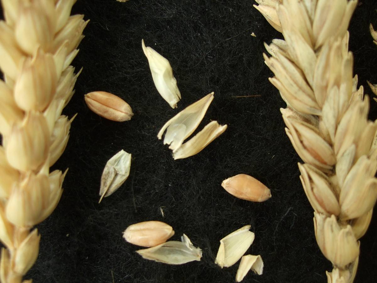 Madeiran wheat landrace type review - 1:25pm&nbsp;9<sup>th</sup>&nbsp;Oct.&nbsp;'11