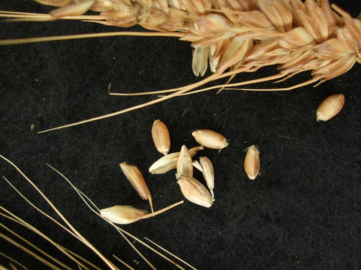 Madeiran wheat landrace type review - 1:26pm&nbsp;9<sup>th</sup>&nbsp;Oct.&nbsp;'11
