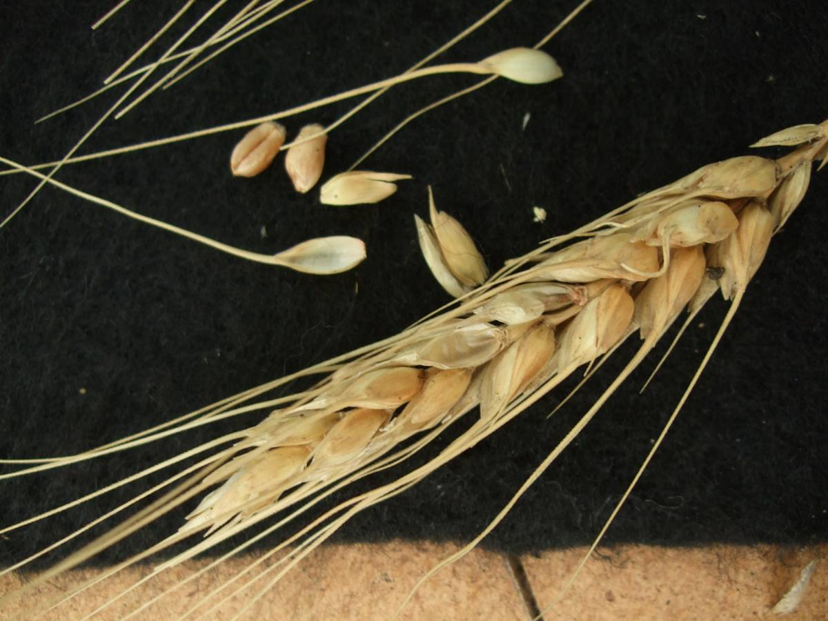 Madeiran wheat landrace type review - 1:27pm&nbsp;9<sup>th</sup>&nbsp;Oct.&nbsp;'11