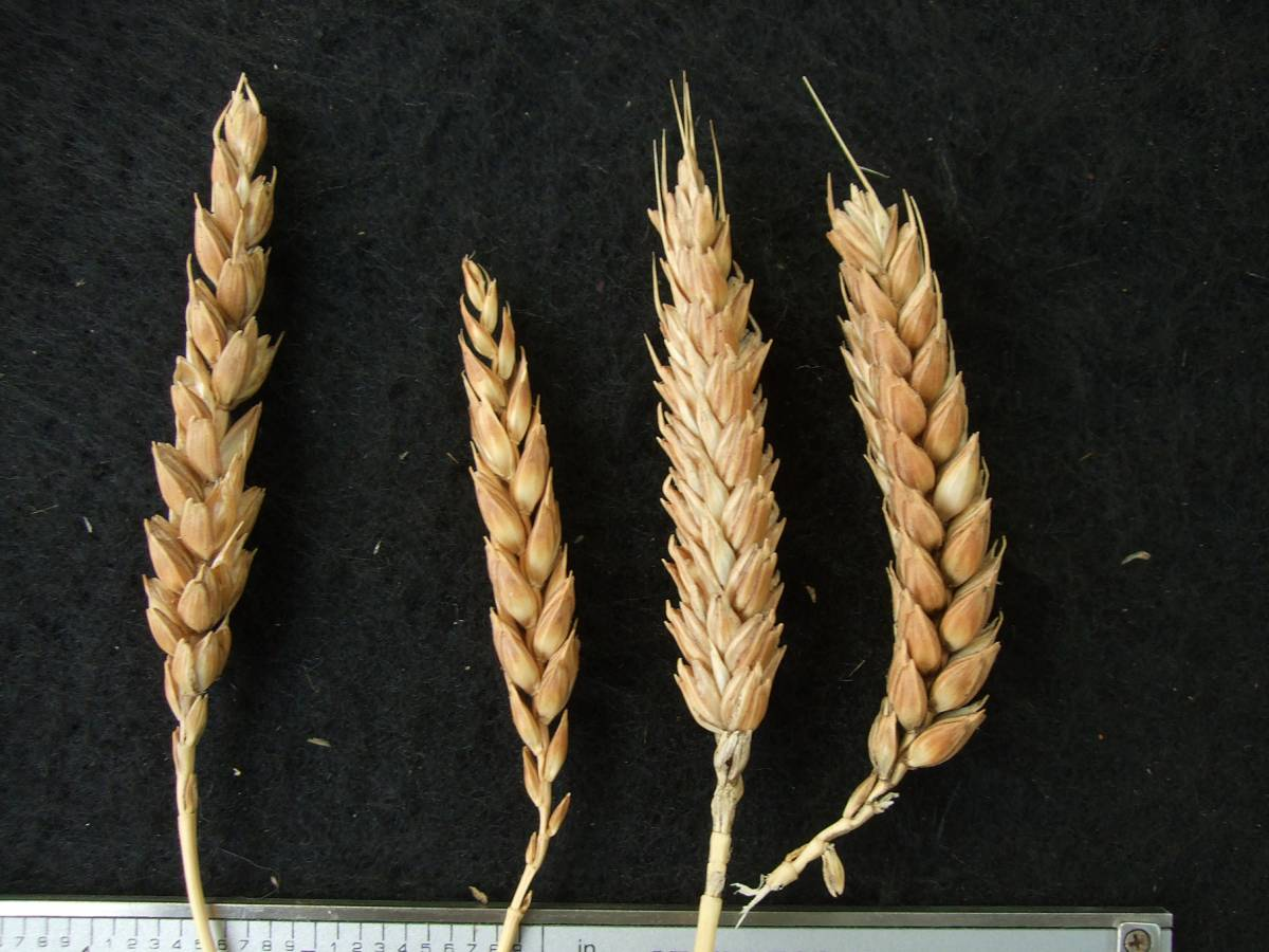 Madeiran wheat landrace type review - 1:29pm&nbsp;9<sup>th</sup>&nbsp;Oct.&nbsp;'11