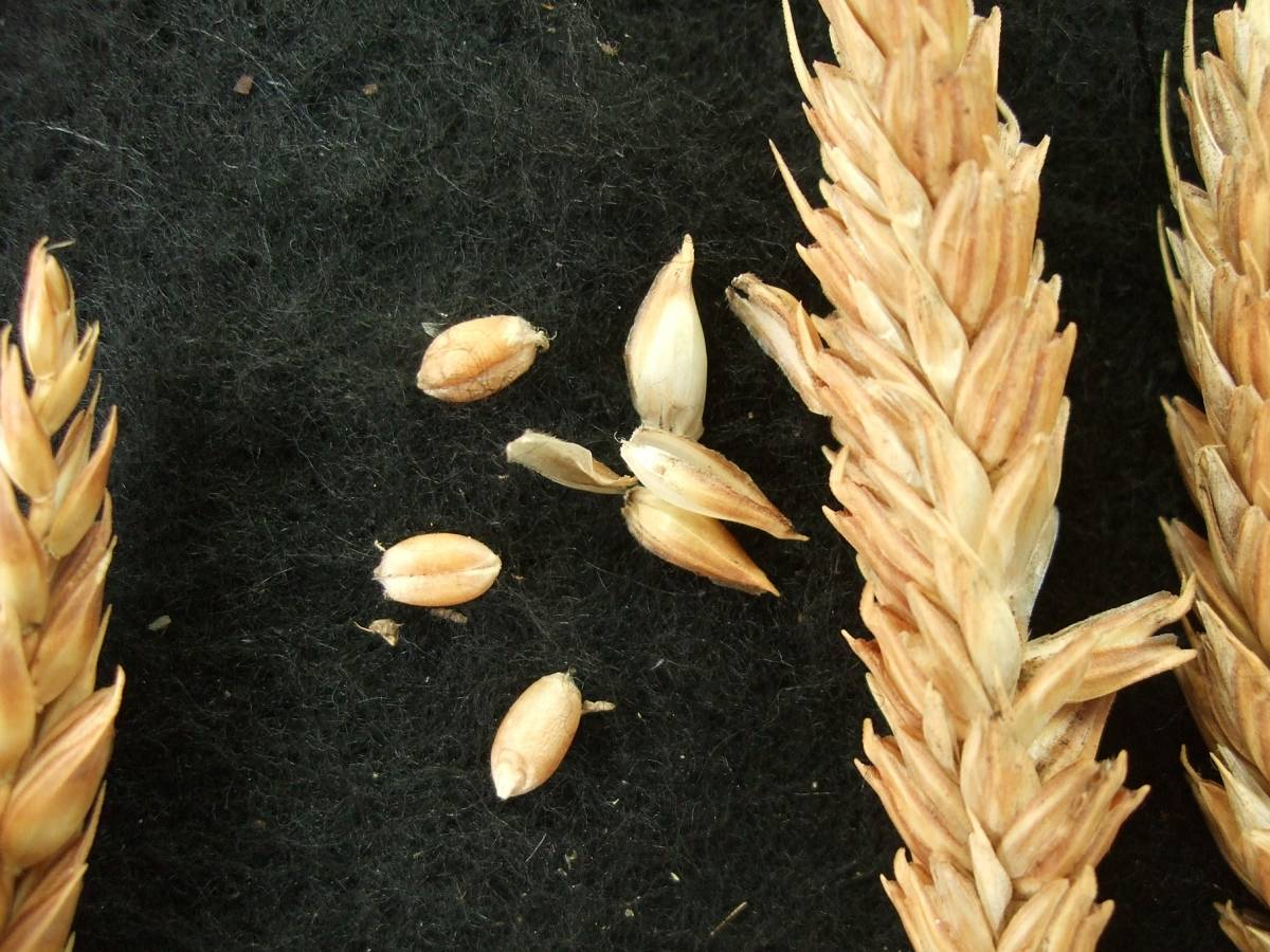 Madeiran wheat landrace type review - 1:30pm&nbsp;9<sup>th</sup>&nbsp;Oct.&nbsp;'11