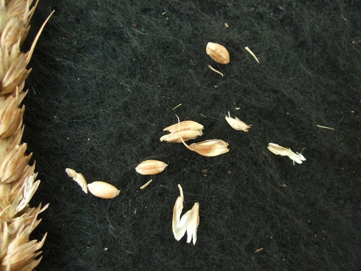 Madeiran wheat landrace type review - 1:31pm&nbsp;9<sup>th</sup>&nbsp;Oct.&nbsp;'11