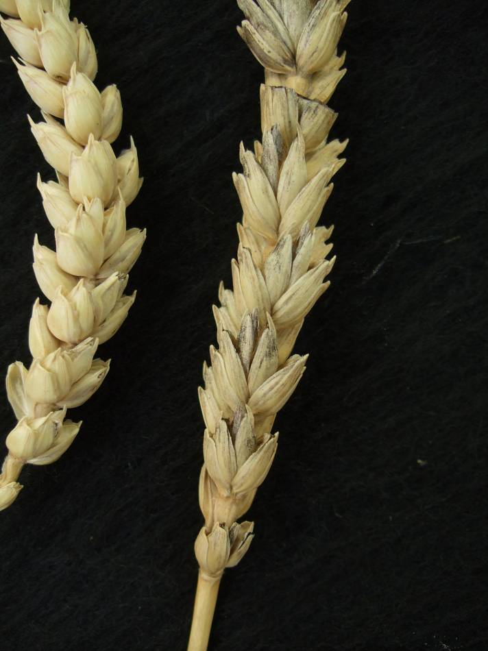 Madeiran wheat landrace type review - 1:33pm&nbsp;9<sup>th</sup>&nbsp;Oct.&nbsp;'11