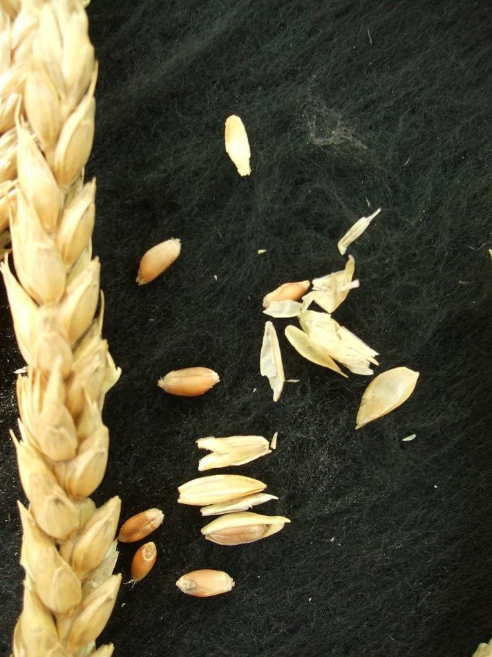 Madeiran wheat landrace type review - 1:34pm&nbsp;9<sup>th</sup>&nbsp;Oct.&nbsp;'11