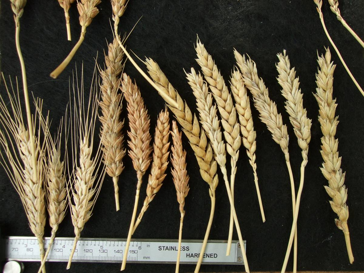 Madeiran wheat landrace type review - 1:20pm&nbsp;9<sup>th</sup>&nbsp;Oct.&nbsp;'11