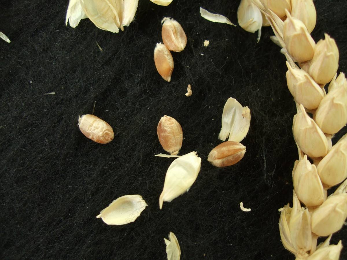 Madeiran wheat landrace type review - 1:35pm&nbsp;9<sup>th</sup>&nbsp;Oct.&nbsp;'11