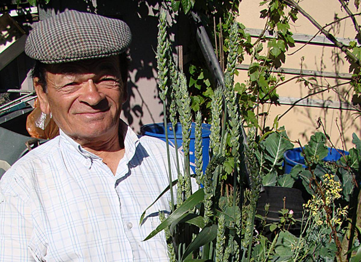 Antonio Luis, donor of our original Madeiran landrace wheat on his plot - 3:52pm&nbsp;3<sup>rd</sup>&nbsp;Jun.&nbsp;'10