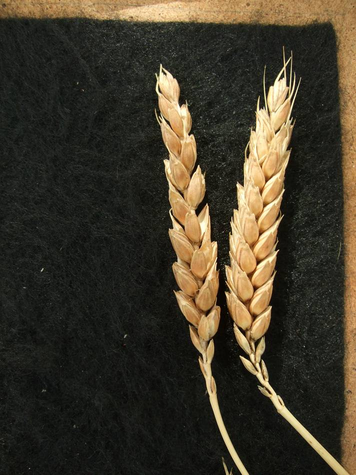 Madeiran wheat landrace type review - 1:21pm&nbsp;9<sup>th</sup>&nbsp;Oct.&nbsp;'11