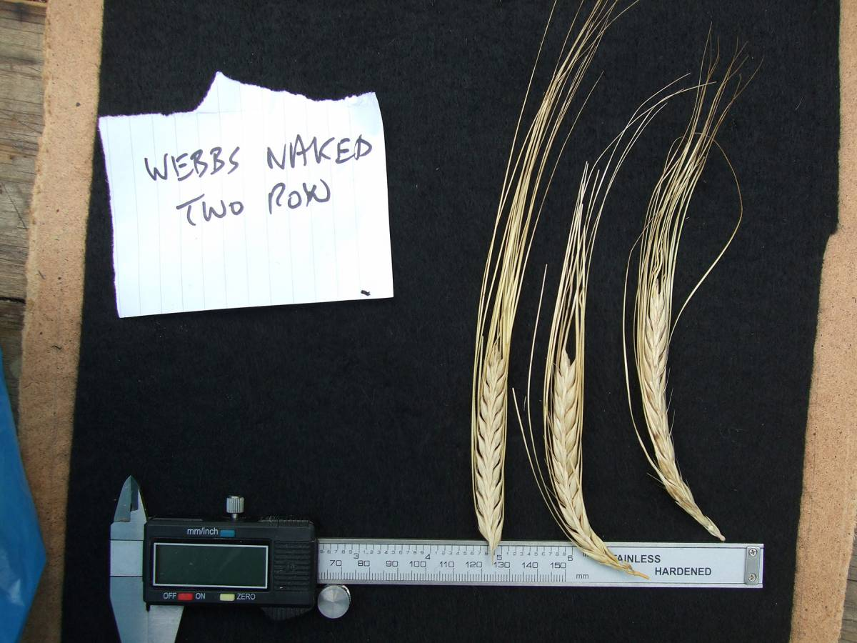 'Webbs Two Row Naked', UK 7036 naked barley 2011 - 5:09pm&nbsp;25<sup>th</sup>&nbsp;Sep.&nbsp;'11