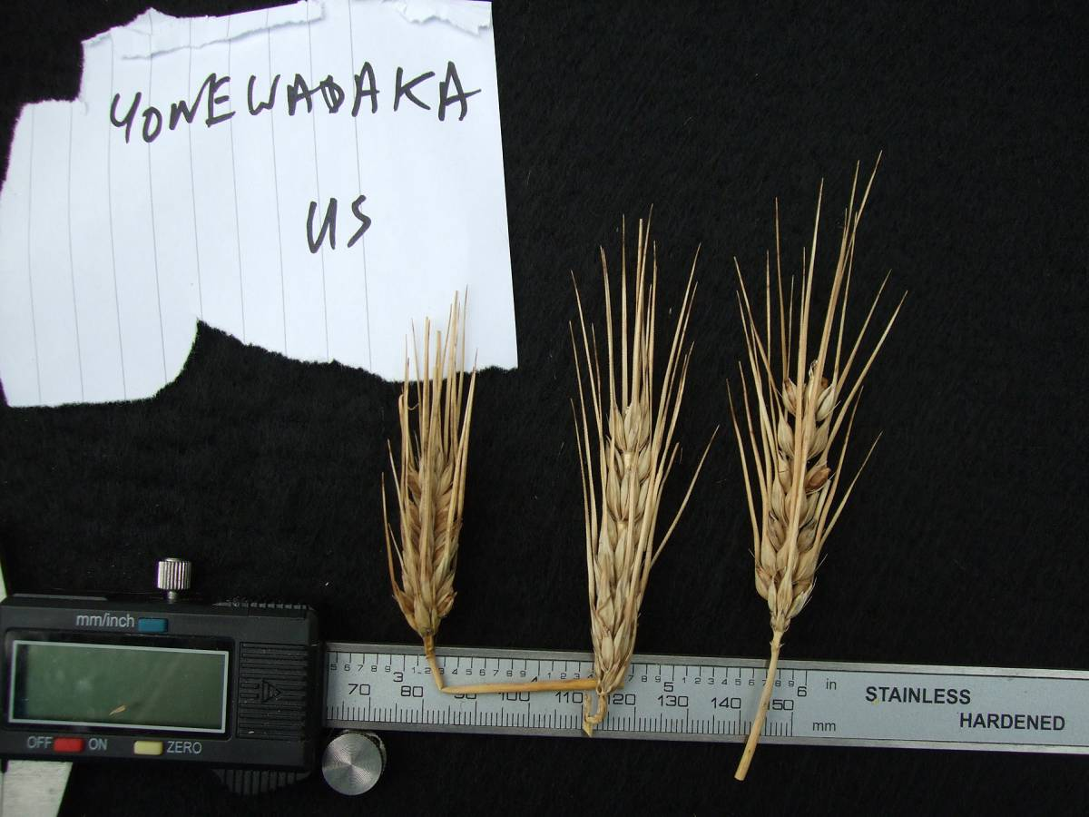 'Yonewadaka', DE 10698, very poor yield, naked barley 2011 - 5:19pm&nbsp;25<sup>th</sup>&nbsp;Sep.&nbsp;'11