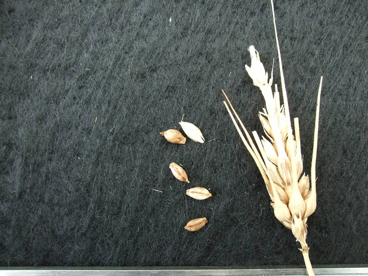 'Yonewadaka', DE 10698, very poor yield, naked barley 2011 - 5:20pm&nbsp;25<sup>th</sup>&nbsp;Sep.&nbsp;'11