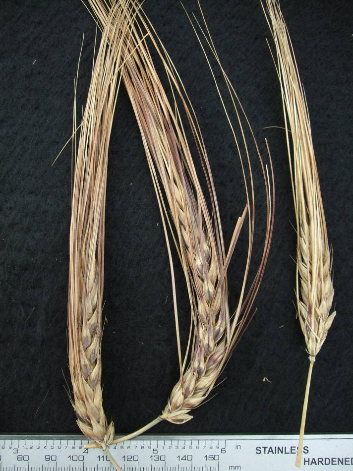 &rsquo;Chinese Hulless Black&rsquo;, UK 7546, naked barley 2011 - 5:21pm&nbsp;25<sup>th</sup>&nbsp;Sep.&nbsp;'11