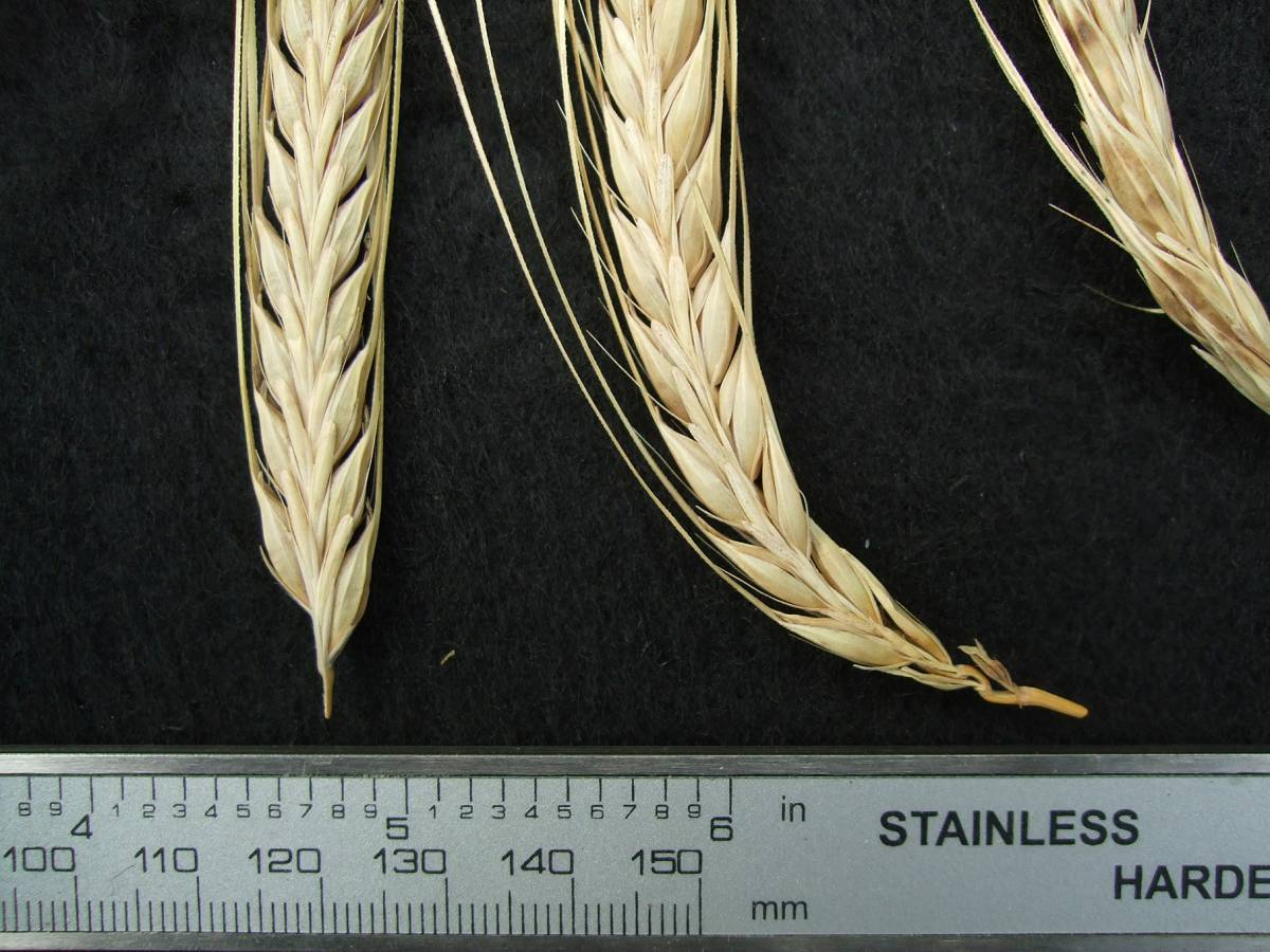 'Webbs Two Row Naked', UK 7036 naked barley 201 - 5:09pm&nbsp;25<sup>th</sup>&nbsp;Sep.&nbsp;'11