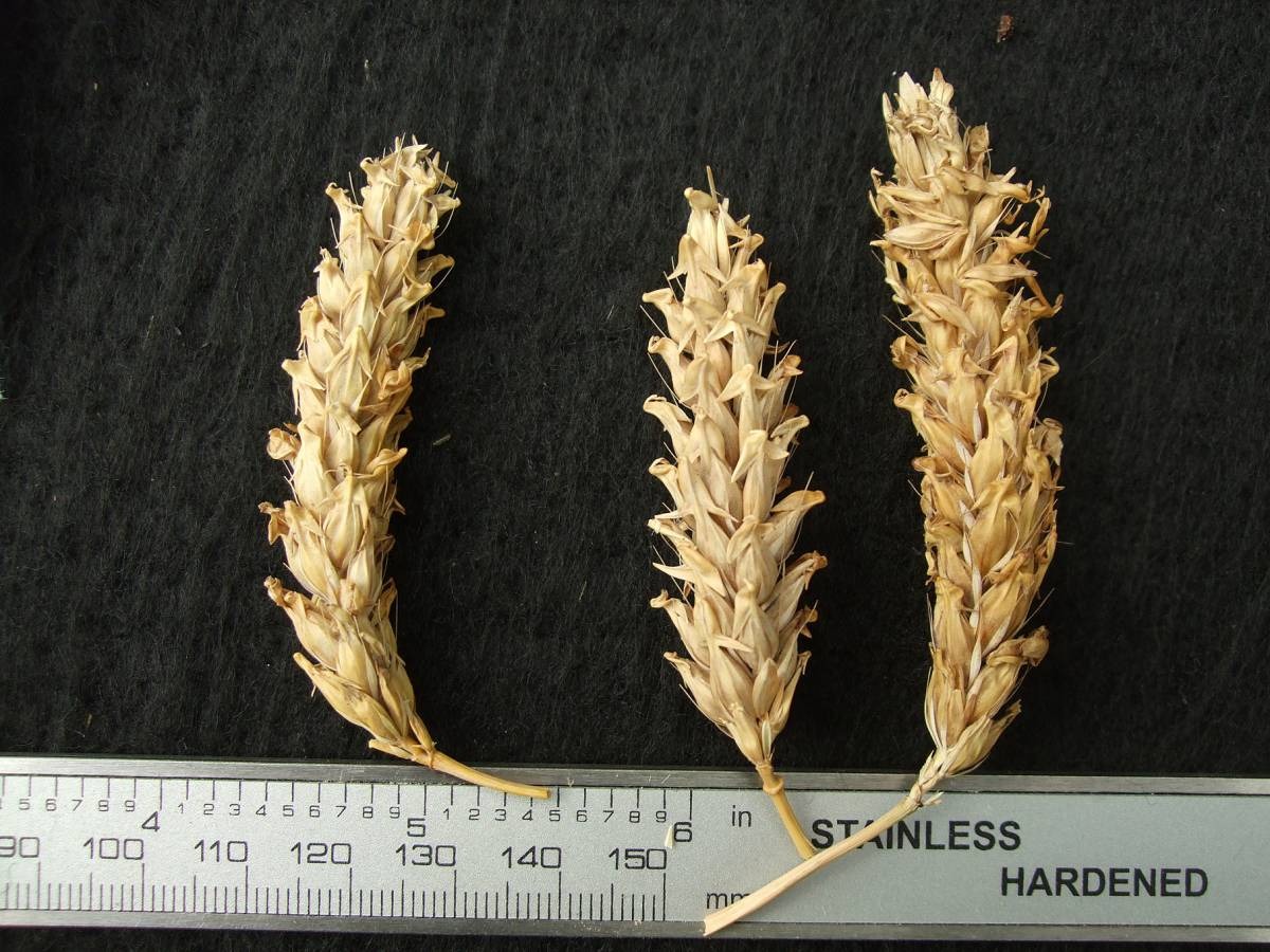 'Purple Nepalese', UK 6020, naked barley 2011 - 5:25pm&nbsp;25<sup>th</sup>&nbsp;Sep.&nbsp;'11