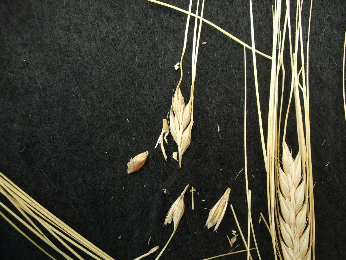 'Webbs Two Row Naked', UK 7036 naked barley 201 - 5:11pm&nbsp;25<sup>th</sup>&nbsp;Sep.&nbsp;'11