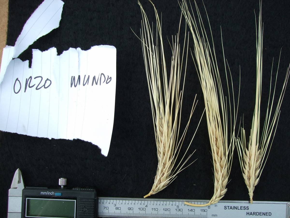 &rsquo;Orzo Mondo&rsquo;, DE 11119, naked barley 2011 - 5:34pm&nbsp;25<sup>th</sup>&nbsp;Sep.&nbsp;'11