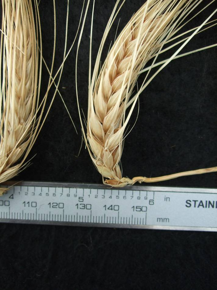 'Heidesanderste', DE 18420 naked barley 2011 - 5:39pm&nbsp;25<sup>th</sup>&nbsp;Sep.&nbsp;'11