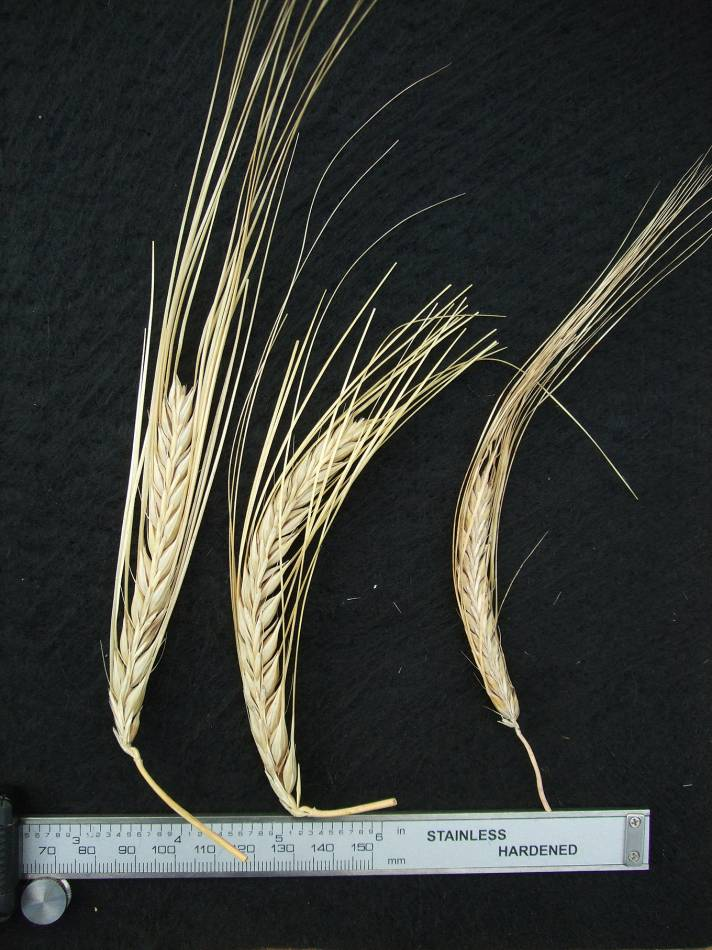 'South Italian naked'., DE 18059, naked barley 2011 - 5:53pm&nbsp;25<sup>th</sup>&nbsp;Sep.&nbsp;'11