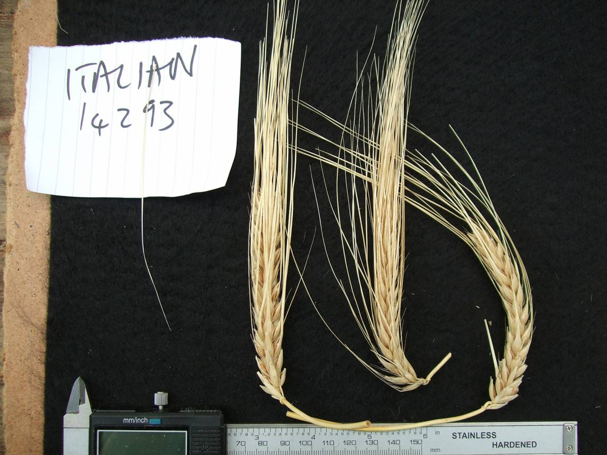 'Italian Naked', DE 14293, naked barley 2011 - 5:55pm&nbsp;25<sup>th</sup>&nbsp;Sep.&nbsp;'11