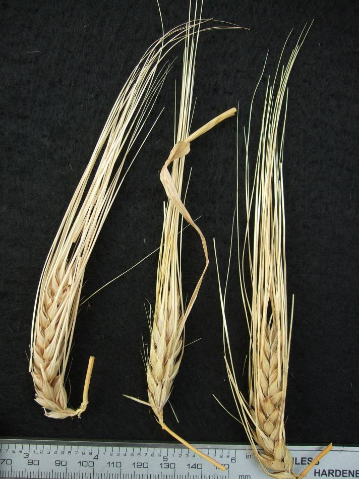 'Nudo Bianca (gen. Mariotti)', DE 140 naked barley 2011 - 5:13pm&nbsp;25<sup>th</sup>&nbsp;Sep.&nbsp;'11